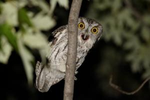 screech owl_small