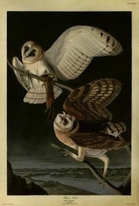 Audubon Barn Owl