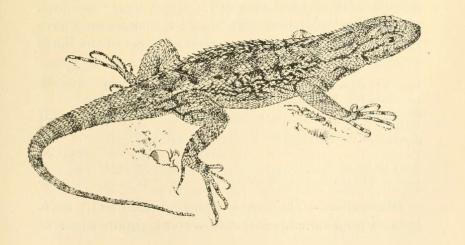 Western Fens' Lizard