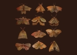 https://www.threadless.com/product/3613/Moth_Collector